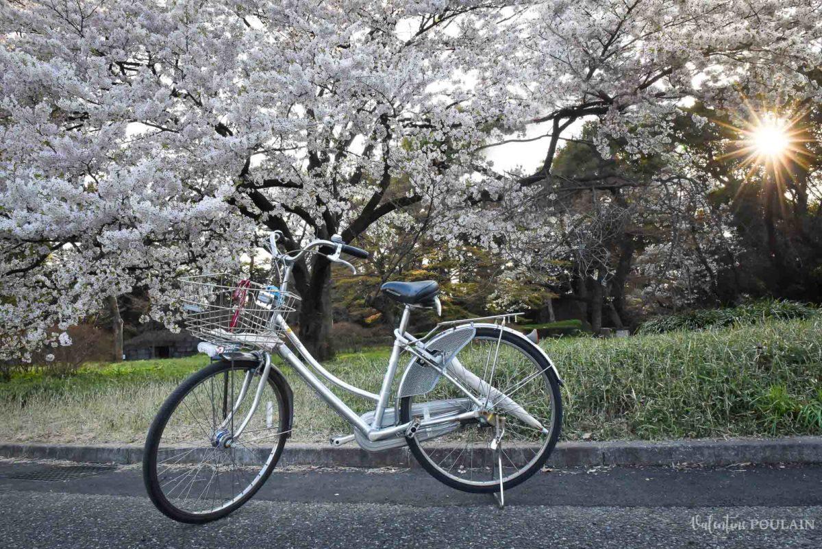 JAPON Tokyo Kyoto - Valentine Poulain cerisier