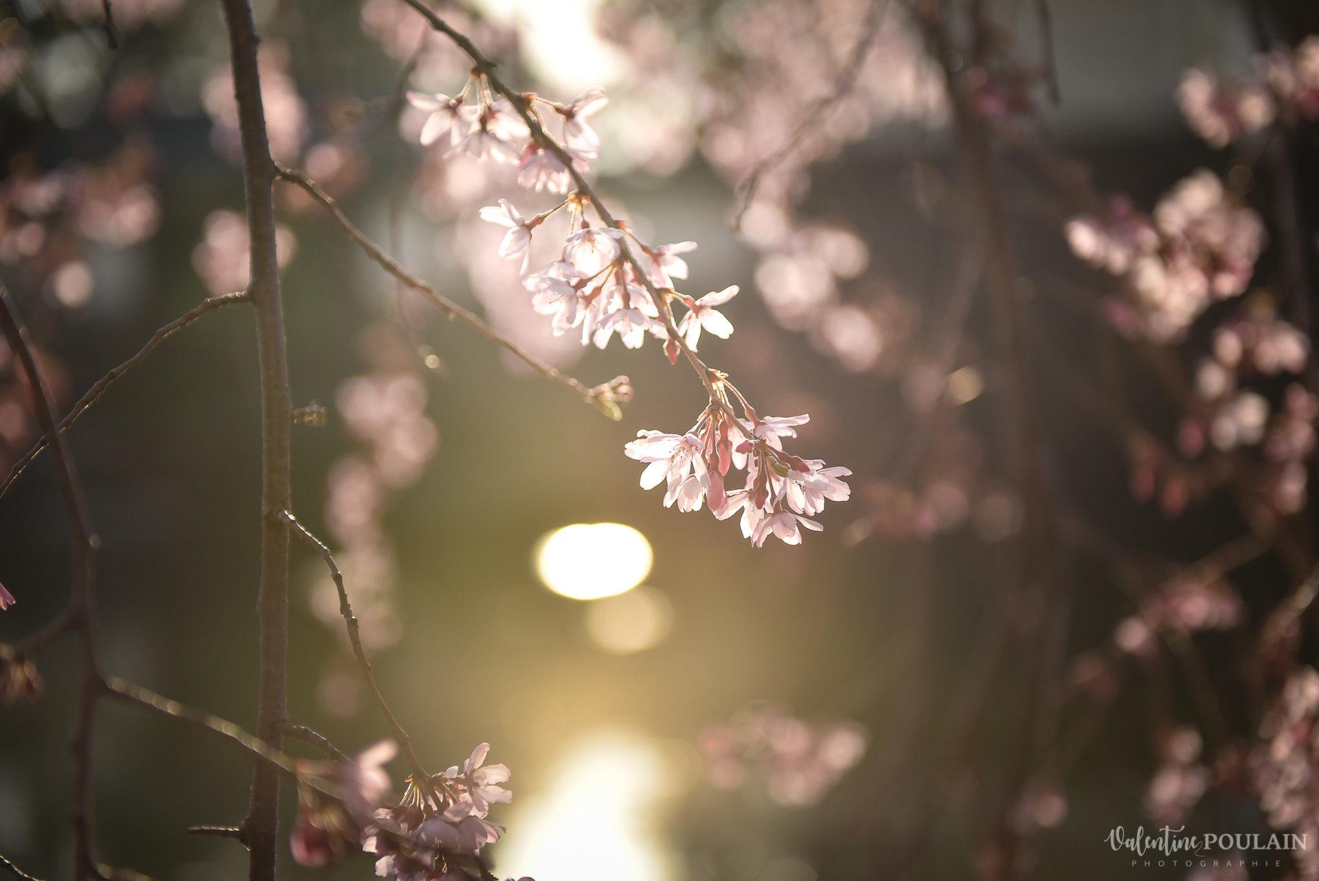 Shooting couple Japon Tokyo Valentine Poulain cerisier